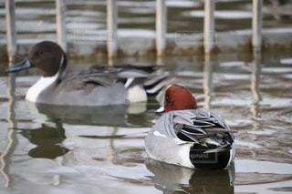 水鳥の写真・画像素材[938003]
