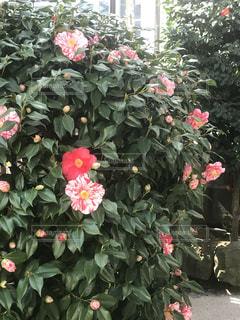 木に咲く花の写真・画像素材[1050913]