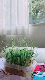 家庭菜園で豆苗を育てていますの写真・画像素材[808137]