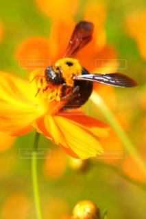 コスモス畑の昆虫の写真・画像素材[808625]