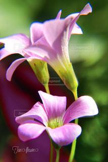 近所に咲いていた綺麗な花の写真・画像素材[808626]