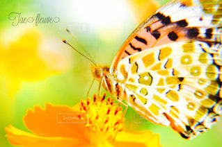 黄色コスモスと蝶の写真・画像素材[808628]