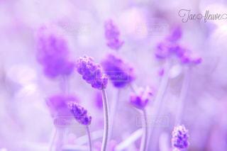 庭のラベンダーの写真・画像素材[808630]