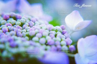 公園の額紫陽花の写真・画像素材[1256902]
