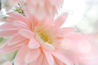 春の光を浴びるガーベラの花束の写真・画像素材[1792833]