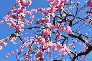 晴天のしだれ桜の写真・画像素材[1058191]