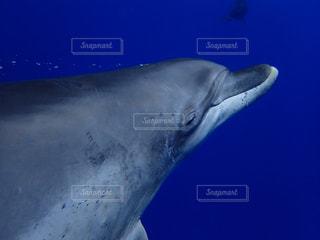小笠原のミナミハンドウイルカの写真・画像素材[809699]