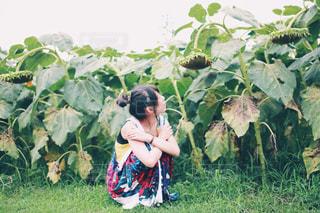 枯れた向日葵の写真・画像素材[1383329]