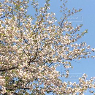 桜の木と青空の写真・画像素材[810623]
