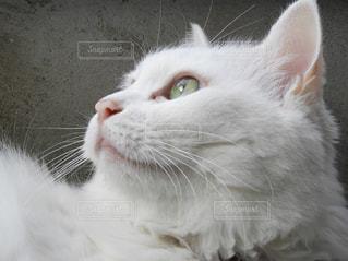 見上げる猫ちゃんの写真・画像素材[810439]