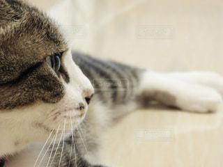 猫はやっぱり横顔かな?の写真・画像素材[811864]