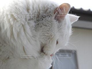 お願い猫の写真・画像素材[1065394]