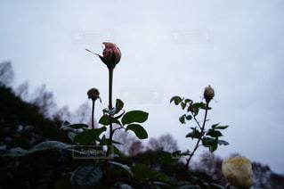 薔薇の蕾の写真・画像素材[811943]