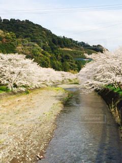 川の側の桜の写真・画像素材[811182]