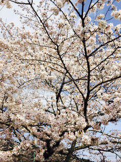 近くの桜の木のアップの写真・画像素材[811183]