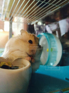 ご飯を食べるハムスターの写真・画像素材[811238]