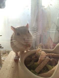 砂ネズミ - No.811308