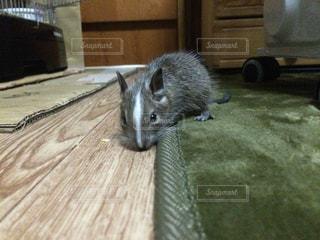 デグーマウスの写真・画像素材[811313]