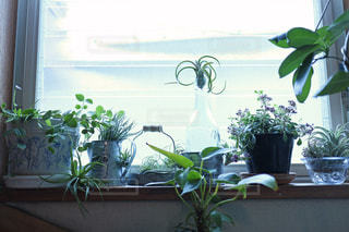 日当たりの良い窓ぎわのグリーンの写真・画像素材[821378]