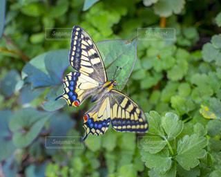 緑の葉に綺麗な蝶々の写真・画像素材[1133205]