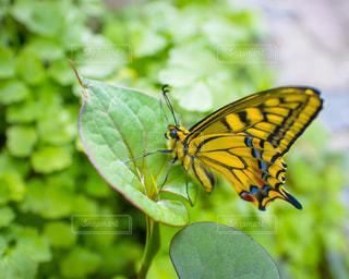緑の葉と黄色の蝶々の写真・画像素材[1133206]