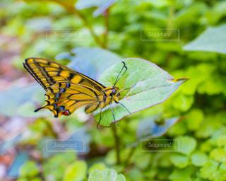 花のように黒と黄色の蝶の写真・画像素材[1133207]