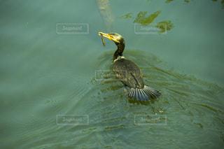 水の中を泳ぐ鳥の写真・画像素材[1191133]