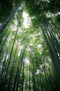竹林の写真・画像素材[824730]