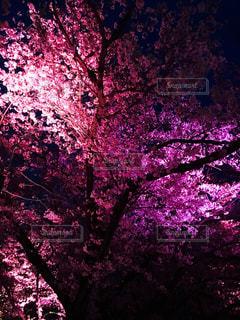 美しい夜桜の写真・画像素材[811995]