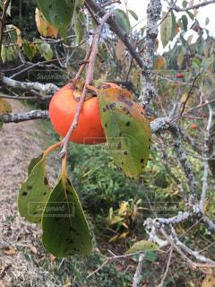 熟した柿 - No.817971
