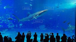 美ら海水族館のジンベエザメの写真・画像素材[814315]