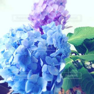 紫陽花の写真・画像素材[813473]