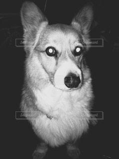 白黒コーギーの写真・画像素材[813507]