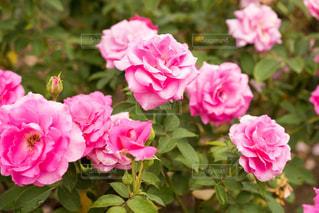 薔薇(うらら)の写真・画像素材[1817308]