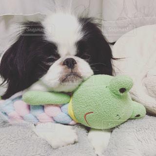 ベッドの上で眠そうな子犬(狆)の写真・画像素材[814044]