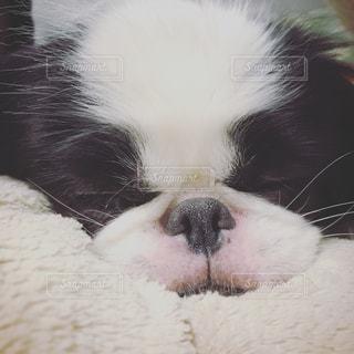 クッションの上で眠る子犬(狆)の写真・画像素材[814116]
