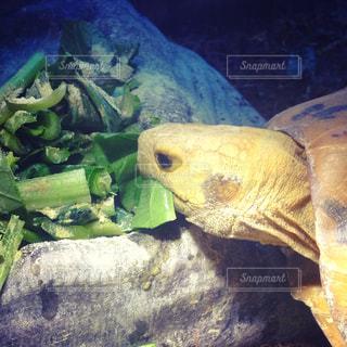 小松菜とチンゲンサイを食べるリクガメの写真・画像素材[814223]