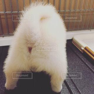 白柴子犬のおしりとしっぽの写真・画像素材[814275]