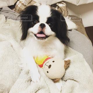 オモチャで遊ぶ白黒の犬(狆) - No.814280