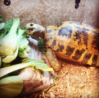 野菜をモリモリ食べるエロンガータリクガメの写真・画像素材[814283]