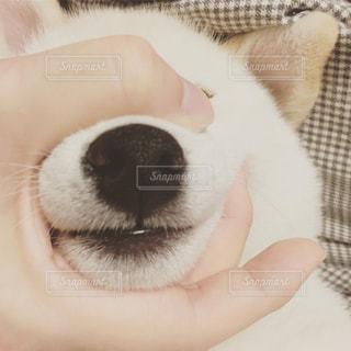 マズルをつかまれた柴犬の写真・画像素材[814284]
