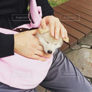 ピンクのおくるみに包まれて眠る白柴の子犬の写真・画像素材[814521]