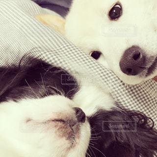 ぐうぐう寝る狆と、その寝顔を見つめる白柴犬の写真・画像素材[815090]