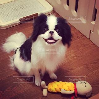 満面の笑みでおすわりした白黒の犬(狆)の写真・画像素材[815445]