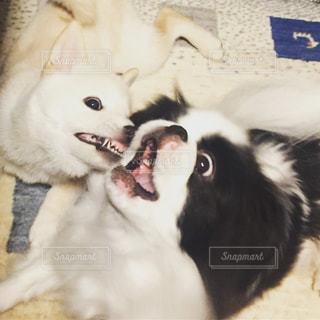 変顔たっぷりな、狆と白柴犬のじゃれあいの写真・画像素材[815448]