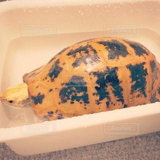 半身浴するリクガメ(エロンガータリクガメ)の写真・画像素材[815465]