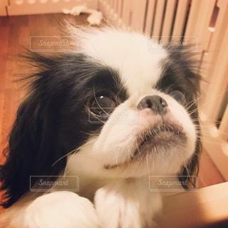 飼い主を見上げる白黒の犬(狆)の写真・画像素材[815466]