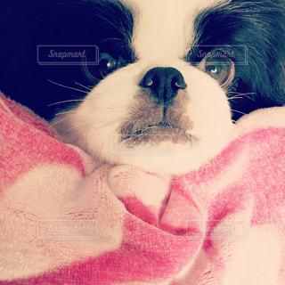 ピンクの毛布に包まれた子犬(狆)の写真・画像素材[815902]