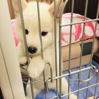檻から出ようとしてふんばる白柴の子犬の写真・画像素材[3681908]