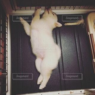 へんな寝相で寝る白柴犬の子犬の写真・画像素材[3725102]